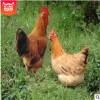 现货供应生江原始鸡肉质鲜嫩三黄鸡谷物饲养肉鸡营养健康鸡