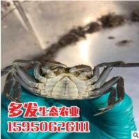 供应扣蟹苗 优质蟹苗 螃蟹种苗 批发蟹苗成活率高 优质蟹苗