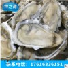 整箱批发96只牡蛎半壳 冷冻半壳牡蛎直销 北方海鲜水产直销商
