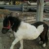 哪里有德保矮马 养殖马出售成年骑乘小矮马批发