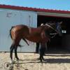 出售纯血马 七五血公马 半血马速度耐力好 比赛用大马景区观赏马