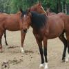 骑乘马都有什么品种的马匹 半血马 温血马价格