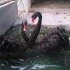 养殖黑天鹅前景 河北气候适合黑天鹅生长吗 购买黑天鹅种鹅价格
