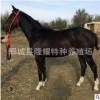 十一旅游景区用蒙古马 婚庆专用蒙古马 骑乘马市场价格