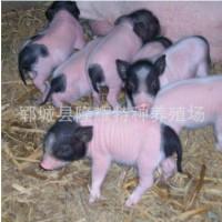 小香猪多少钱一只_香猪养殖技术_香猪养殖前景 景区展览香猪