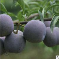 果园直发脆红李5斤四川眉山五月脆李子新鲜孕妇水果自有果园现摘