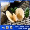 产地鲜活供应全国七彩贝海蛤蜊 蛤蜊酒店食材水产批发