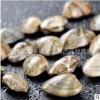 花甲批发鲜活包邮花蛤新鲜花哈海鲜蛤蜊花蛤蜊贝壳类无沙花蚬子