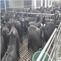 大量出售黑山羊 波尔山羊 黑山羊出肉率高 肉羊多少钱一只