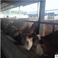 肉牛犊批发价格 100头肉牛养殖利润分析 肉牛报价价格表
