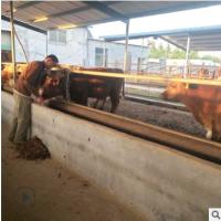 山东小牛犊报价 肉牛养殖场设计图 山东哪里的肉牛品种好