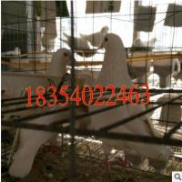 种鸽养殖基地大量出售白羽王种鸽 肉鸽种鸽改良肉鸽种鸽