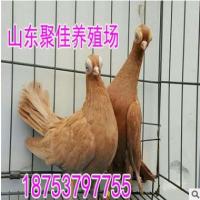 天使鸽 哪里卖天使鸽 天使鸽价格 黄头天使鸽 黑翅膀天使鸽