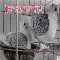 鼓手鸽种鸽价格,哪里卖鼓手鸽,一对鼓手鸽的价格