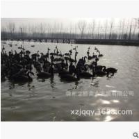 黑天鹅基地 养殖场 价格 小苗黑天鹅 养殖技术 动物园策划