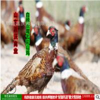 常年销售白脖长尾七彩山鸡 脱温山鸡苗 出壳苗 包成活教技术
