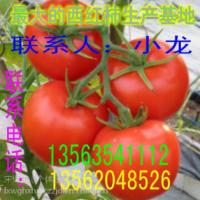 山东西红柿生产基地、以色列大红果 厚皮耐运输 150g左右