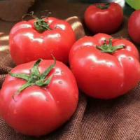 供应 山东海阳普罗旺斯西红柿 番茄 新鲜水果