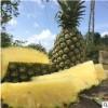 海南金砖凤梨5斤 精品新鲜南方热带水果产地现摘地菠萝非香水菠萝