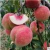 【顺丰】山东蒙阴金秋红蜜桃 脆甜水蜜桃毛桃现摘 当季时令鲜水果