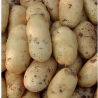 供应 批发 优质出口级保鲜荷兰土豆 马铃薯【规格全、价格低】