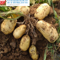 吴起黄心土豆马铃薯洋芋有机蔬菜非转基因农家直销