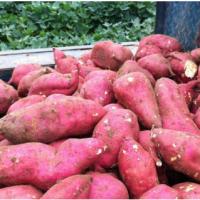 保鲜无污染白薯 特产美味香脆地瓜