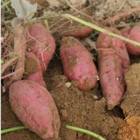 安徽特产农家自种红皮白心地瓜番薯甘薯