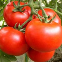 健康养生蔬菜 新鲜西红柿 无公害蔬菜 西红柿