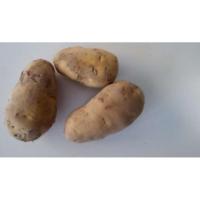 振江种植 荷兰土豆