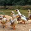 有机稻田稻鸭正宗散养麻鸭深山放养新鲜鸭子2-3斤活鸭现杀