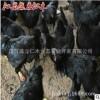 纯种五黑鸡活体 产蛋期五黑一绿种鸡 高产绿壳蛋鸡优质乌骨鸡批发