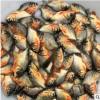 供应 鱼 淡水白鲳鱼苗 草鱼苗 淡水石斑鱼苗 鱼苗养殖批发