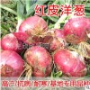 精品新红星/精品红地球/中领红皮洋葱种子 紫皮洋葱早熟高产