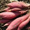 山东特产烟薯25号红薯可晒红薯干 烤红薯专用糖心流油地瓜