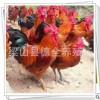 常年真诚出售 红玉公鸡 红玉鸡苗受精种蛋 出厂前消毒质良好