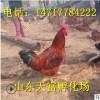 如何鉴别九斤黄鸡种蛋 九斤黄种鸡价格 养殖场出售种蛋
