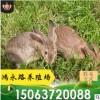 出售活体肉兔 比利时种兔价格 杂交野兔 兔苗养殖 签订回收合同