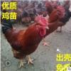 """九斤红鸡苗特价优惠,""""爆""""款低价, 山东优质鸡苗孵化 诚信售后"""