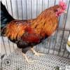 厂家直销越南斗鸡 原种斗鸡开校斗鸡越南斗鸡品种全易成活
