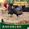 厂家直销 生态散养高产黄羽黑羽绿壳蛋母鸡 大量现货价格优惠