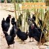 厂家直销 鸡公 农家散养绿壳蛋鸡 品种齐全 成活率较高