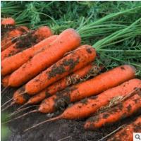 胡萝卜水果胡萝卜原生态脆甜新鲜胡萝卜一件无痕代发五斤装寿光