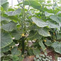蔬菜供应 无刺水果黄瓜 批发新鲜水果小黄瓜现摘农家无刺小黄瓜