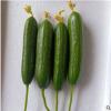 蔬菜供应现摘现发坏果包赔新鲜直达五斤装清脆爽口水果带刺黄瓜