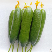 水果黄瓜供应 小青瓜荷兰黄瓜新鲜生吃现摘青瓜 现摘现发新鲜蔬菜