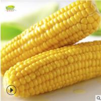 【佑仔食品】冷冻玉米棒 速冻包谷 新鲜甜糯大粒急冻食品大量批发