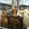 羊驼活体 小羊驼多少钱 景区观赏羊驼 萌宠草泥马 澳洲羊驼价格
