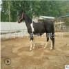 半血马价格 国产影视马多少钱 骑乘马养马场哪里有 纯血马 跑马