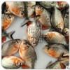 零售/批发淡水红鲳白鲳鱼苗大量供应活体养殖鱼苗淡水鱼苗
